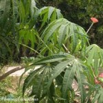 Cách trồng cây Đỗ Trọng