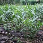 Kĩ thuật trồng cây Gừng - cay gung huong dan trong trot hieu qua 150x150