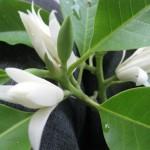 Kĩ thuật trồng và chăm sóc cây Ngọc Lan - cay hoa ngoc lan 150x150