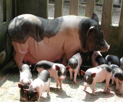 Chăm sóc Lợn sau khi sinh con - cham soc lon sau khi sinh con