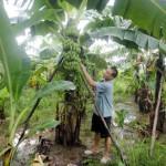Chống bão cho vườn Chuối - chong bao cho vuon chuoi 150x150