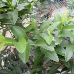 Chữa bệnh bằng lá Ổi - chua benh bang la oi 150x150