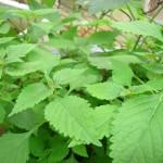 Chữa ngứa lở và Eczema bằng cây rau Kinh Giới