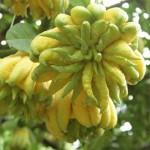 Công dụng của trái cây Phật Thủ - cong dung cua trai cay phat thu 150x150