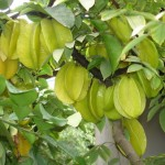 Để cây Khế ngọt ra trái quanh năm - de cay khe ngot ra trai quanh nam 150x150