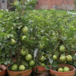 Để cây Ổi trồng chậu ra nhiều quả - de cay oi trong chau ra nhieu qua 150x150