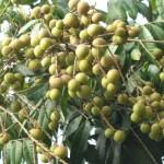 Để Nhãn xuồng cơm vàng cho trái nhiều đợt