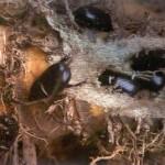 Diệt trừ bọ hung nhỏ hại Gừng - diet tru bo hung nho hai gung 150x150