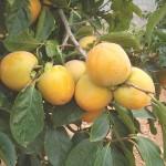 Hạn chế cây Hồng giòn rụng quả non