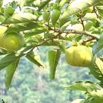 Kỹ thuật trồng và chăm sóc cây Hồng Giòn