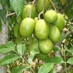 Hướng dẫn cách trồng cây Cóc Thái tại nhà