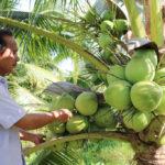 Hướng dẫn kĩ thuật trồng cây Dừa Xiêm Dứa - huong dan ki thuat trong cay dua xiem dua 1 150x150