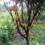 Hướng dẫn trồng và chăm sóc cây Bòn Bon