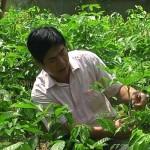 Kỹ thuật trồng và ghép cây Trám Đen