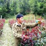Kĩ thật trồng và chăm sóc hoa Hồng - ki that trong va cham soc hoa hong 150x150
