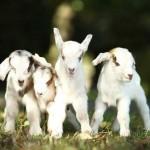Kĩ thuật chăn nuôi Dê con
