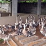 Kĩ thuật chăn nuôi Ngỗng - ki thuat chan nuoi ngong 150x150