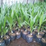 Kĩ thuật chọn giống và trồng Dừa