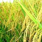 Kĩ thuật chọn lựa giống Lúa