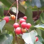 Kĩ thuật gieo trồng cây Chóc Máu
