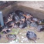 Kĩ thuật nuôi Rùa sinh sản