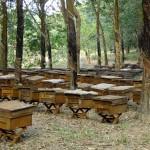 Kĩ thuật nuôi và chăm sóc Ong