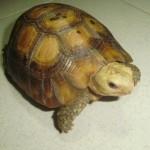 Kĩ thuật nuôi và chăm sóc Rùa câm