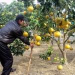 Kĩ thuật trồng bưởi Diễn