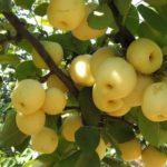 Kĩ thuật trồng Cây Lê - ki thuat trong cay le 150x150