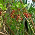 Kĩ thuật trồng cây Lộc Vừng