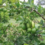 Kĩ thuật trồng Chanh Bốn Mùa