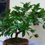 Kĩ thuật trồng Chanh trong nhà