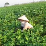 Kĩ thuật trồng đậu nành rau - ki thuat trong dau nanh rau 150x150