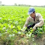 Kĩ thuật trồng đậu Nành trên đất ruộng