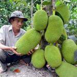 Kĩ thuật trồng giống Mít Thái - ki thuat trong giong mit thai 150x150