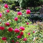 Kĩ thuật trồng hoa Hồng - ki thuat trong hoa hong 150x150