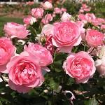 Kĩ thuật trồng hoa Hồng Pháp - ki thuat trong hoa hong phap 150x150