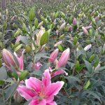 Kĩ thuật trồng hoa ly từ củ - ki thuat trong hoa ly tu cu 1 150x150