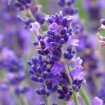 Kĩ thuật trồng hoa Oải Hương - ki thuat trong hoa oai huong 150x150