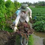 Kĩ thuật trồng khoai Mỡ trên đất phèn - ki thuat trong khoai mo tren dat phen 150x150