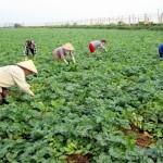 Kĩ thuật trồng Khoai Tây không cần làm đất - ki thuat trong khoai tay khong can lam dat 150x150