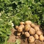 Kĩ thuật trồng khoai Tây Sinora - ki thuat trong khoai tay sinora 150x150