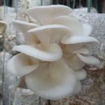 Kĩ thuật trồng nấm Bào Ngư - ki thuat trong nam bao ngu 150x150
