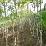 Kĩ thuật trồng Sắn trên đất dốc - ki thuat trong san tren dat doc 150x150