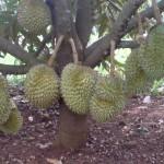 Kĩ thuật trồng Sầu Riêng chuyên canh