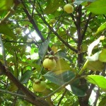 Kĩ thuật trồng và chăm sóc cây Măng Cụt
