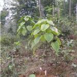 Kĩ thuật trồng và chăm sóc cây Vạng Trứng - ki thuat trong va cham soc cay vang trung 150x150