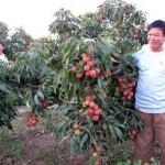 Kĩ thuật trồng vải thiều Thanh Hà - ki thuat trong vai thieu thanh ha 150x150