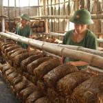 Kĩ thuật ủ rơm trồng Nấm rơm