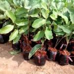 Kĩ thuật ươm trồng Ổi